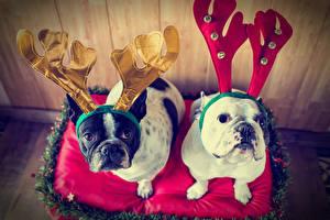 Wallpaper Christmas Dogs 2 Bulldog Horns Glance Animals