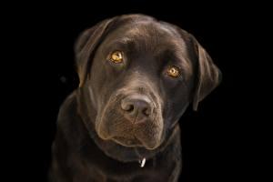 Fotos Großansicht Hund Schwarzer Hintergrund Schnauze Starren Retriever Labrador Retriever ein Tier