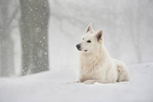 Hintergrundbilder Hund Weiß Shepherd Schnee Berger Blanc Suisse