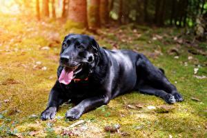 Bilder Hunde Schwarz Zunge Starren Pfote Retriever Labrador Retriever