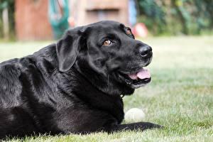 Fotos Hund Gras Schwarz Starren Retriever Labrador Retriever Tiere