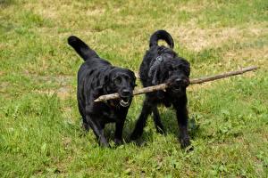 Fotos Hunde Gras Schnauzer 2 Retriever Labrador Retriever Tiere