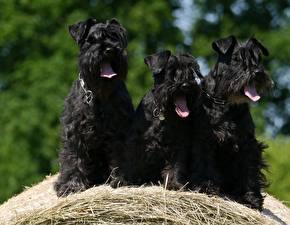 Image Dog Schnauzer Three 3 Black Tongue Straw animal