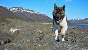 Images Dog Stone Akita Tongue Paws animal