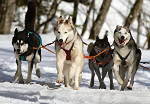 Hintergrundbilder Hunde Winter Siberian Husky Schnee Laufsport