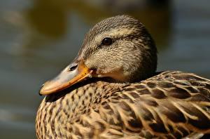 Fotos Entenvögel Großansicht Kopf Schnabel ein Tier