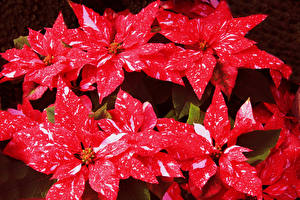 Bilder Wolfsmilch Großansicht Rot Blumen