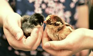 Bilder Finger Großansicht Hühner Hand Tiere