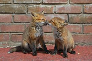 Wallpapers Foxes Cubs 2 Paws Animals