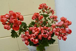 Images Geranium Closeup Pink color Flowers