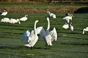 Bilder Grünland Vögel Geese Gras Schlägerei Tiere