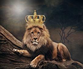 Hintergrundbilder Löwe Krone ein Tier