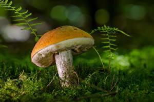 Wallpapers Mushrooms nature Closeup Moss Leccinum
