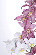 Wallpaper Orchid Closeup White background Flowers