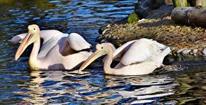 Hintergrundbilder Pelikane Vögel Teich Zwei Schnabel