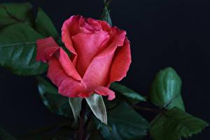 Bilder Rosen Großansicht Schwarzer Hintergrund Rot