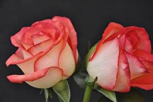 Fotos Rosen Großansicht Schwarzer Hintergrund 2 Blumen