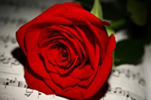 Hintergrundbilder Rosen Großansicht Noten Rot