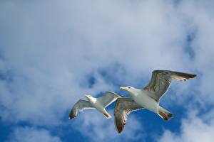 Pictures Sky Birds Gull Clouds 2 Flight Bottom view Animals