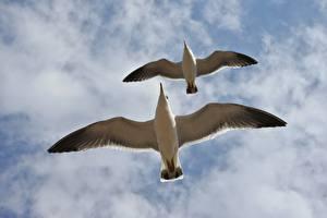 Sfondi desktop Cielo Gabbiani Uccelli Nubi Due 2 Vista da sotto Volante Animali