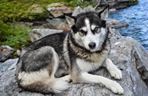 Fotos Steine Hunde Siberian Husky Starren Pfote Trübsal