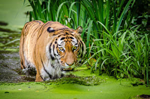 Picture Tigers Big cats Water Grass Snout Staring