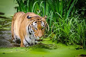 Hintergrundbilder Tiger Große Katze Wasser Gras Schnauze Blick ein Tier