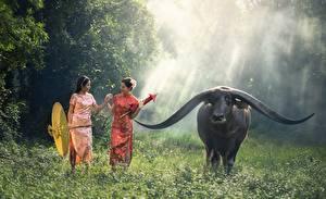 Bilder Asiatische Rinder Gras Regenschirm Horn Tiere Mädchens