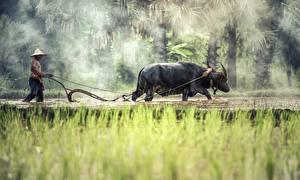 Bilder Asiaten Mann Stier Gras Nebel Der Hut Arbeit ein Tier