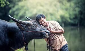 Bilder Asiatische Mann Rinder Horn Umarmung Tiere