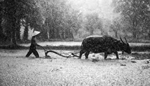 Hintergrundbilder Asiatisches Regen Stier Mann Der Hut Horn Arbeit Tiere