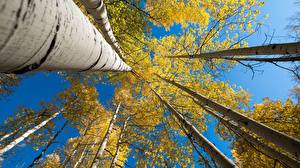 Hintergrundbilder Herbst Baumstamm Birken Untersicht Ansicht von unten Natur