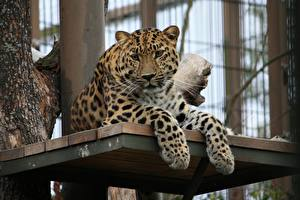 Pictures Big cats Leopards Paws Staring