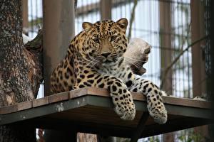 Fotos Große Katze Leopard Pfote Starren Tiere