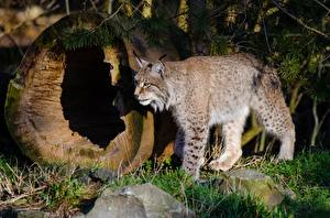 Pictures Big cats Lynx Grass