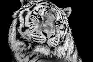 Image Big cats Tigers Black background Snout White Animals