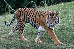 Wallpaper Big cats Tigers Grass Staring Paws