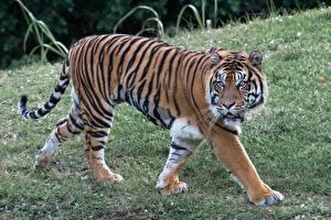 Hintergrundbilder Große Katze Tiger Gras Starren Pfote
