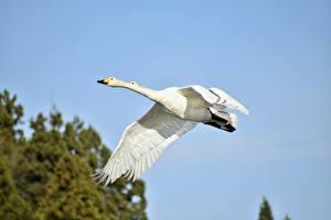 Image Birds Geese 2 White Flight animal