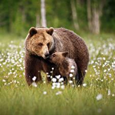 Bilder Bären Braunbär Jungtiere Zwei Gras