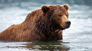 Hintergrundbilder Bären Braunbär Wasser Nass