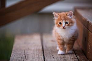 Fotos Katze Katzenjunges Fuchsrot ein Tier
