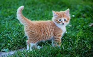 Fotos Katze Kätzchen Ingwer farbe Gras ein Tier