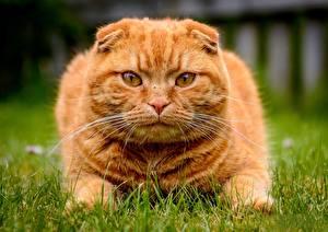 Hintergrundbilder Hauskatze Schottische Faltohrkatze Blick Fuchsrot Gras Schnauze Schnurrhaare Vibrisse ein Tier