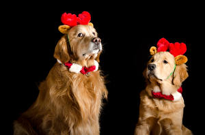 Fotos Neujahr Hunde Golden Retriever Schwarzer Hintergrund Zwei Horn Tiere