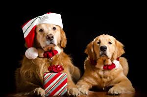 Hintergrundbilder Neujahr Hunde Golden Retriever Schwarzer Hintergrund Zwei Mütze Geschenke Starren Tiere