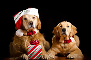 Wallpaper New year Dogs Golden Retriever Black background Two Winter hat Gifts Glance