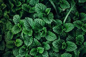 Picture Closeup Texture Mentha Leaf Nature