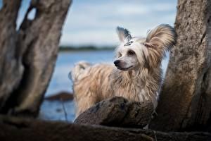 Desktop hintergrundbilder Hund Chinese Crested Weiß ein Tier