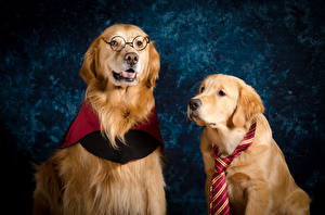 Picture Dogs Golden Retriever 2 Eyeglasses Necktie Animals